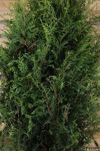 Lebensbaum Brabant 80-100 cm